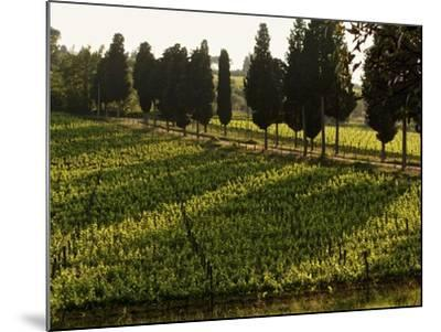Grape Vines and Cypress Trees in Spring in Tuscany-Herbert Lehmann-Mounted Photographic Print