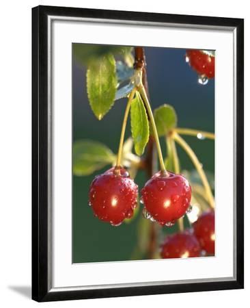 Morello Cherries on a Tree-Chris Sch?fer-Framed Photographic Print