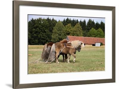 Shetlandponys Als Arbeitspferde-Antje Lindert-Rottke-Framed Photographic Print