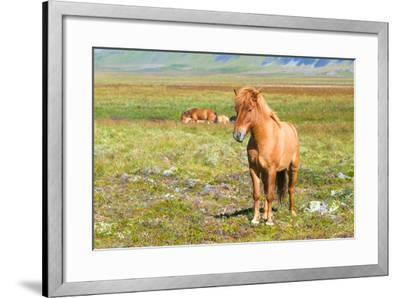 Icelandic Horse-Natalia Pushchina-Framed Photographic Print