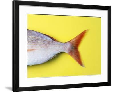 Tail Fin of a Common Pandora-Fridhelm Volk-Framed Photographic Print