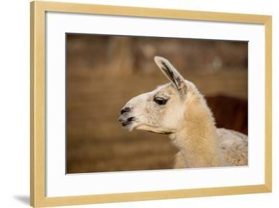 White Llama Head Shot Profile Pursed Lips- photobyjimshane-Framed Photographic Print