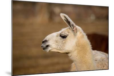 White Llama Head Shot Profile Pursed Lips- photobyjimshane-Mounted Photographic Print