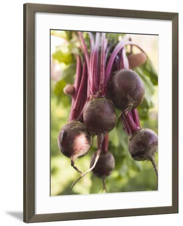 Hands Holding Fresh Beetroot--Framed Photographic Print
