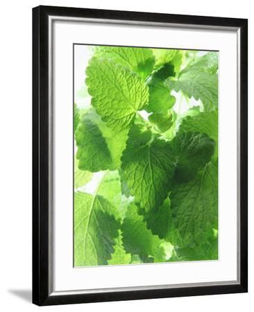 Fresh Lemon Balm-Axel Weiss-Framed Photographic Print