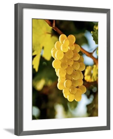 Ripe White Wine Grapes on Vine (Grüner Veltliner, Lower Austria)-Herbert Lehmann-Framed Photographic Print