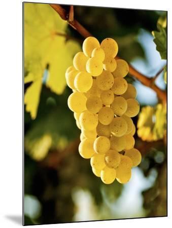Ripe White Wine Grapes on Vine (Grüner Veltliner, Lower Austria)-Herbert Lehmann-Mounted Photographic Print