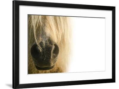 White Pony. Nose Pony on White Background- swevil-Framed Photographic Print