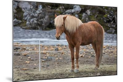 Icelandic Horses-F C G-Mounted Photographic Print