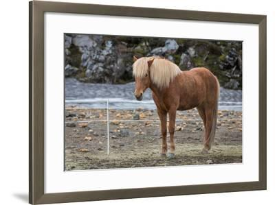 Icelandic Horses-F C G-Framed Photographic Print