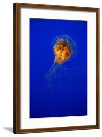 Cyanea Capillata - Lion's Mane Jellyfish-EvanTravels-Framed Photographic Print