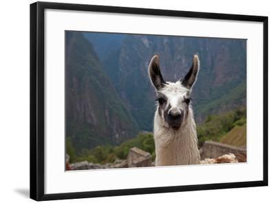 Alpaca at Machu Picchu-Gail Johnson-Framed Photographic Print