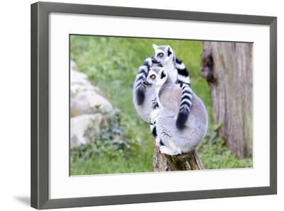 Two Lemurs Sitting on a Log-stefano pellicciari-Framed Photographic Print