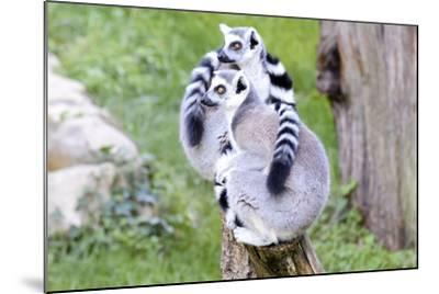 Two Lemurs Sitting on a Log-stefano pellicciari-Mounted Photographic Print