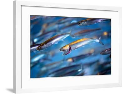 School of Swimming Anchovies-EvanTravels-Framed Photographic Print