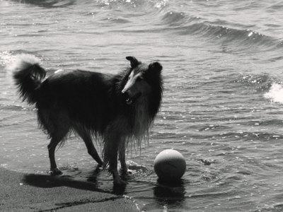 Collie on the Beach-Vincenzo Balocchi-Framed Photographic Print