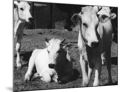 Calves-Vincenzo Balocchi-Mounted Photographic Print