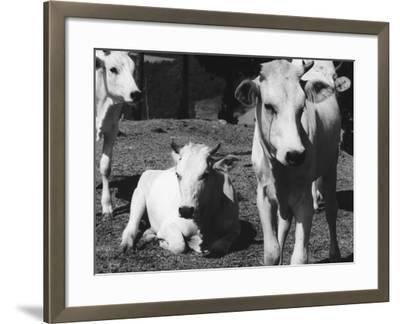 Calves-Vincenzo Balocchi-Framed Photographic Print