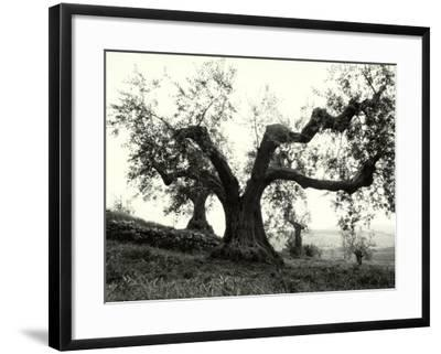 Large Olive Tree in the Tuscan Hills-Vincenzo Balocchi-Framed Photographic Print
