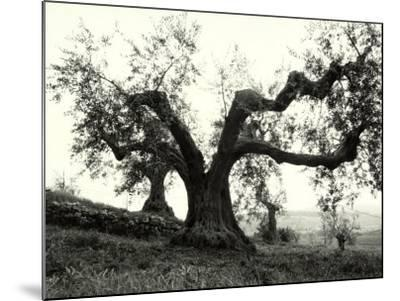 Large Olive Tree in the Tuscan Hills-Vincenzo Balocchi-Mounted Photographic Print