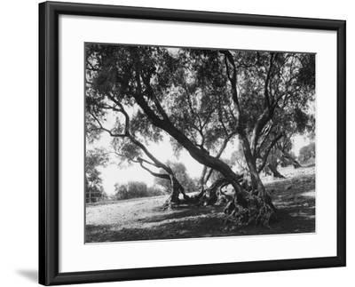 Olive Trees (Olea Europea), Tivoli--Framed Photographic Print