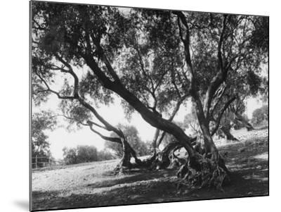 Olive Trees (Olea Europea), Tivoli--Mounted Photographic Print