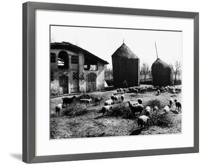 Restone (Figline Valdarno). Haystacks and Grazing Sheep--Framed Photographic Print