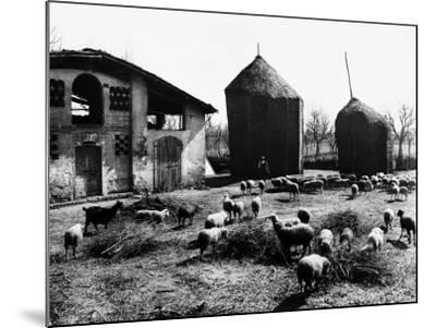 Restone (Figline Valdarno). Haystacks and Grazing Sheep--Mounted Photographic Print