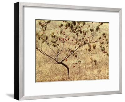 Peach Tree with Fruit-Vincenzo Balocchi-Framed Photographic Print