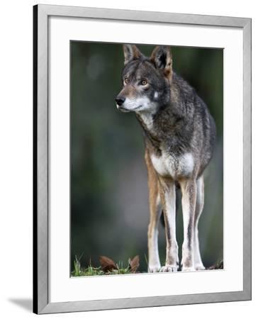A Lone Red Wolf Looking Away from Camera.-Karine Aigner-Framed Photographic Print