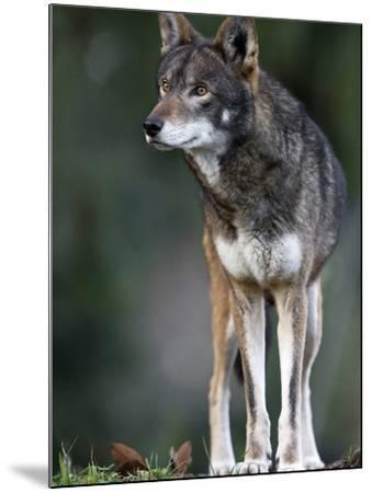 A Lone Red Wolf Looking Away from Camera.-Karine Aigner-Mounted Photographic Print