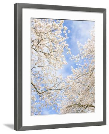 Blooming Cherry Trees in the Quad on the University of Washington Campus in Seattle, Washington.-Ethan Welty-Framed Photographic Print