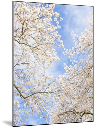 Blooming Cherry Trees in the Quad on the University of Washington Campus in Seattle, Washington.-Ethan Welty-Mounted Photographic Print