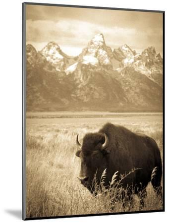 Bison in Grand Teton National Park Wyoming-Justin Bailie-Mounted Photographic Print