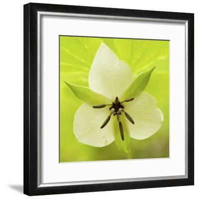 Nodding Trillium in Great Smoky Mountains National Park, Tennessee-Melissa Southern-Framed Photographic Print