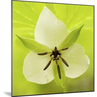 Nodding Trillium in Great Smoky Mountains National Park, Tennessee-Melissa Southern-Mounted Photographic Print
