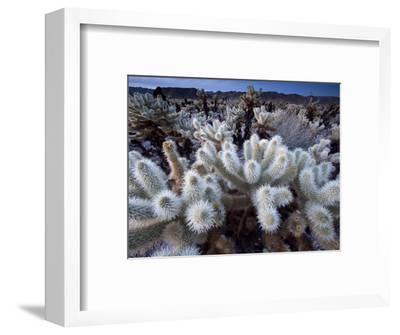 Teddy Bear Cactus or Jumping Cholla in Joshua Tree National Park, California-Ian Shive-Framed Photographic Print