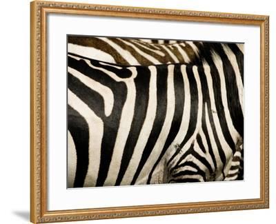A Pattern of Stripes on a Burchell's Zebra.  Kenya.-Karine Aigner-Framed Photographic Print