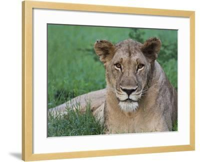 Portrait of a Wild Lioness in the Grass in Zimbabwe.-Karine Aigner-Framed Photographic Print