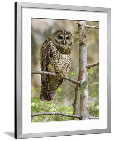 A Spotted Owl (Strix Occidentalis) in Los Angeles County, California.-Neil Losin-Framed Photographic Print