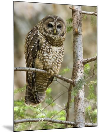 A Spotted Owl (Strix Occidentalis) in Los Angeles County, California.-Neil Losin-Mounted Photographic Print