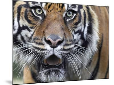 Extreme Closeup Portrait of a Male Sumatran Tiger.-Karine Aigner-Mounted Photographic Print