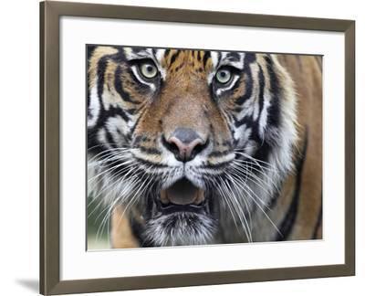 Extreme Closeup Portrait of a Male Sumatran Tiger.-Karine Aigner-Framed Photographic Print
