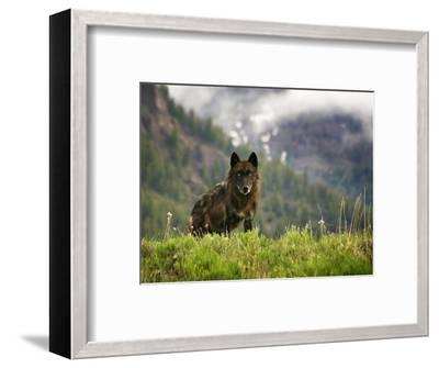 Canyon Pack Alpha Female Wolf of 2009-Mike Cavaroc-Framed Photographic Print