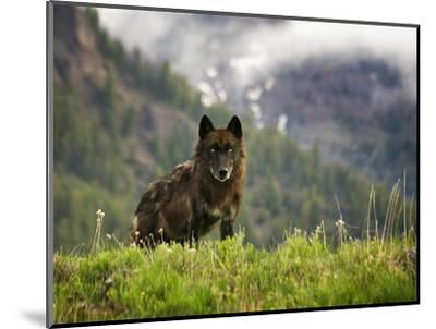 Canyon Pack Alpha Female Wolf of 2009-Mike Cavaroc-Mounted Photographic Print