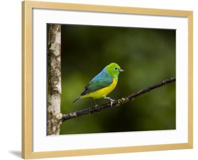 A Male Blue-Naped Chlorophonia (Chlorophonia Cyanea) in Brazil's Atlantic Rainforest-Neil Losin-Framed Photographic Print