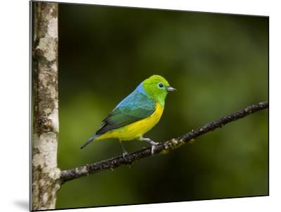 A Male Blue-Naped Chlorophonia (Chlorophonia Cyanea) in Brazil's Atlantic Rainforest-Neil Losin-Mounted Photographic Print