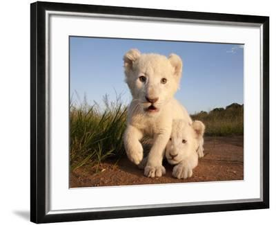 Portrait of Two White Lion Cub Siblings, One Laying Down and One with it's Paw Raised.-Karine Aigner-Framed Photographic Print