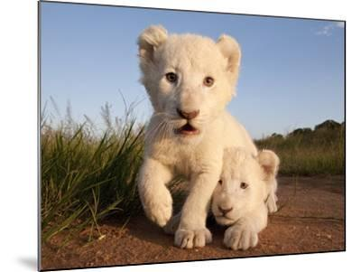 Portrait of Two White Lion Cub Siblings, One Laying Down and One with it's Paw Raised.-Karine Aigner-Mounted Photographic Print