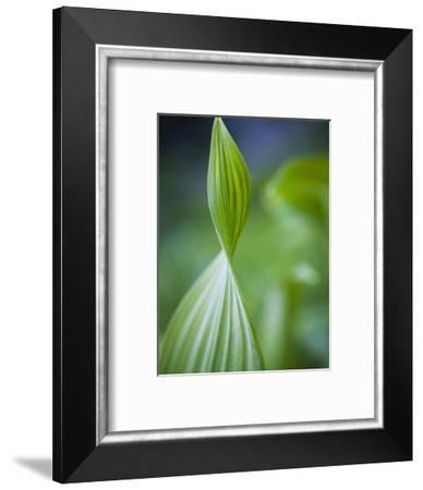 Corn Lily, Mount Baker-Snoqualmie National Forest, Washington.-Ethan Welty-Framed Photographic Print